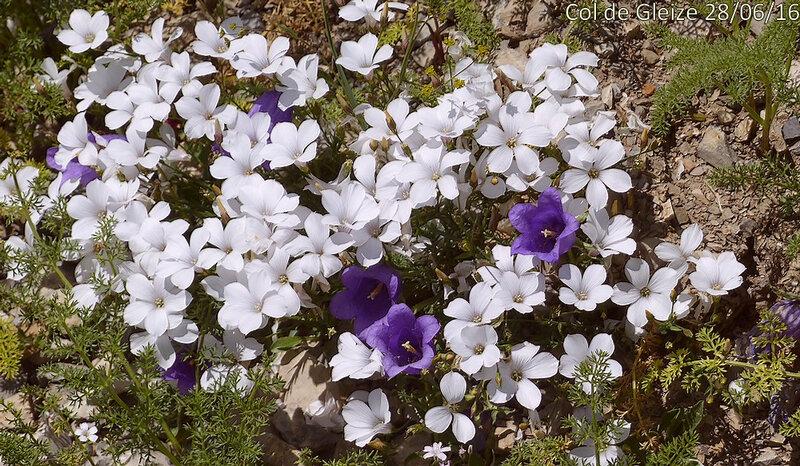 Linum suffruticosum subsp appressum