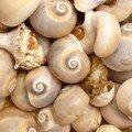 escargots des mers