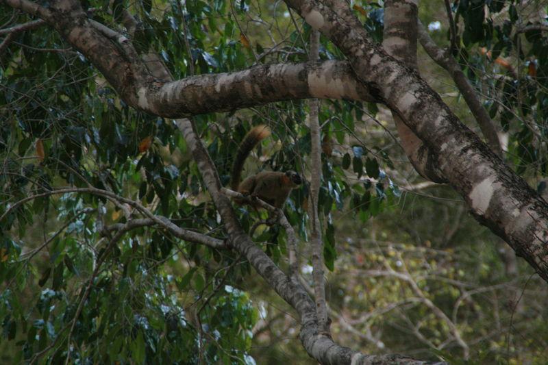 Lémuriens (descente de la Tsiribinha) 9