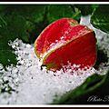 Abutilon dans la dernière neige de cet hiver...
