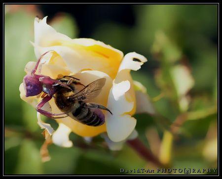 abeille_qui_butine