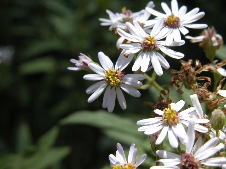 aster-66
