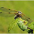 Libellule à quatre taches : libellula quadrimaculata