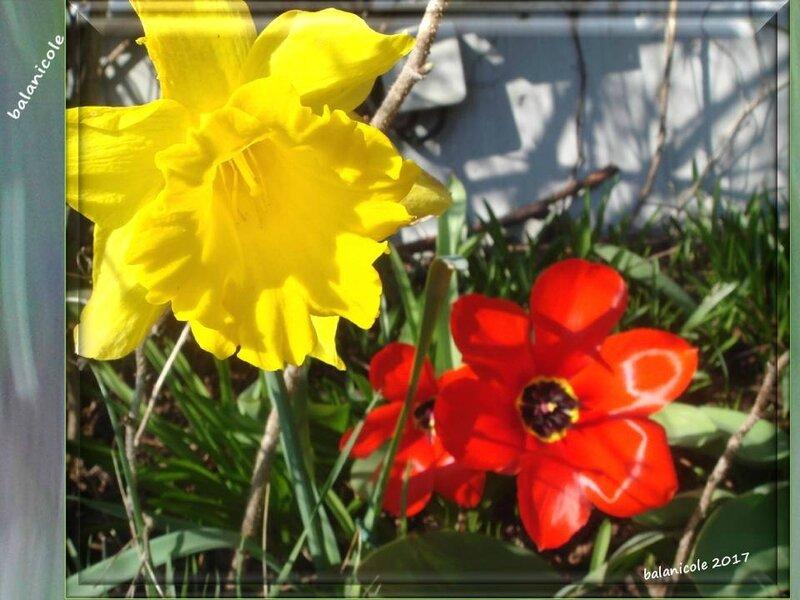 balanicole_2017_03_le printemps des vivaces_35_narcisse09