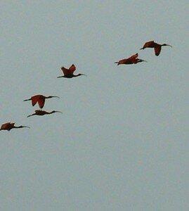 ibisrouge1