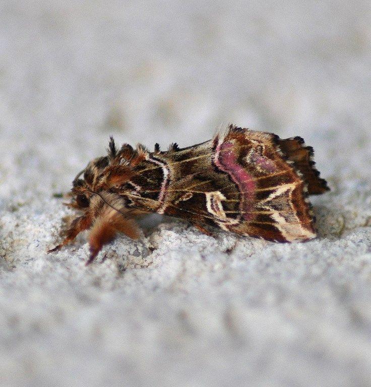 Callopistria juventina, la noctuelle de la fougère