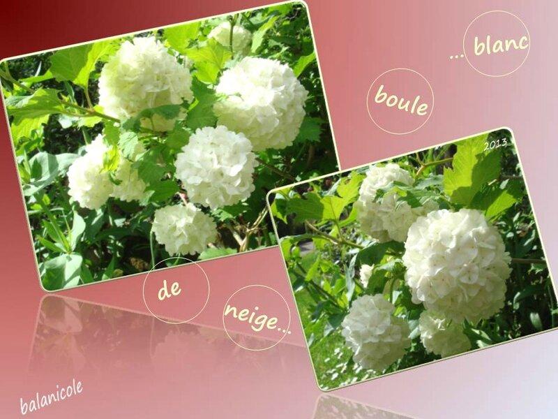balanicole_2012_13-14_54_blanc boule de neige