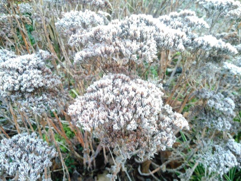 les mêmes sédums que sur les photos d'automne. le gel les magnifie et les insectes s'y réfugient...