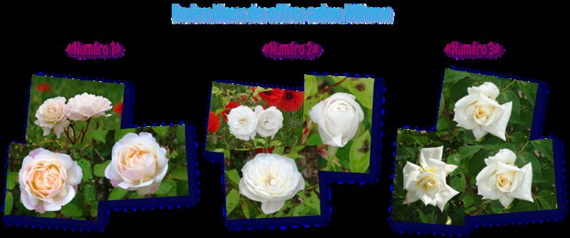 rosiers blancs des offres cadeau willemse