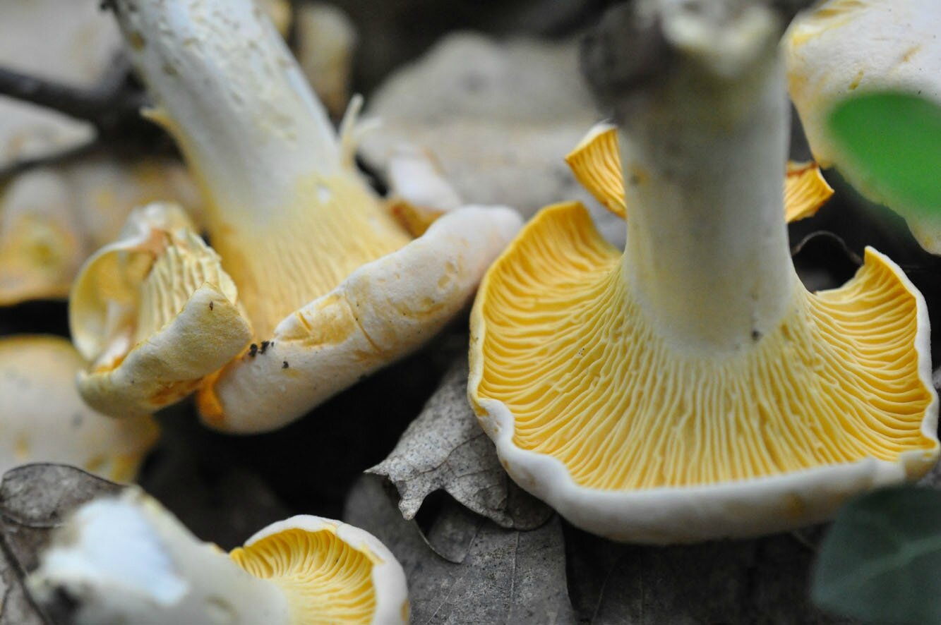 Cantharellus pallens (2)