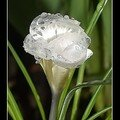 crocus blanc