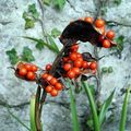 Graines d'iris fétide 2