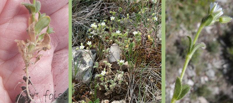 annuelle tiges dressées ou étalées feuilles ovales d'un vert sombre
