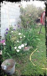 rosier et iris