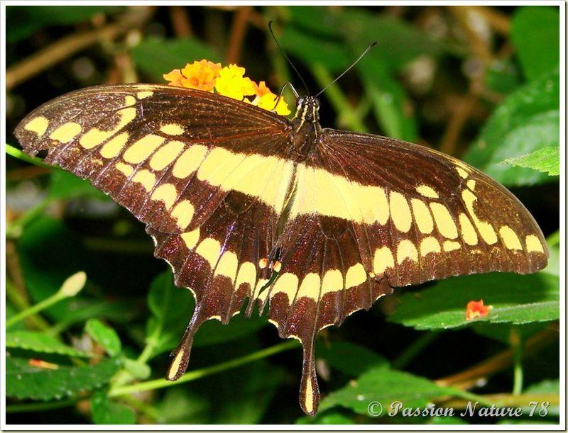 Les papillons (32)