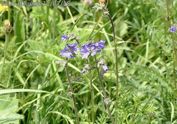 fleurs en panicules composées longues de 10-30 cm