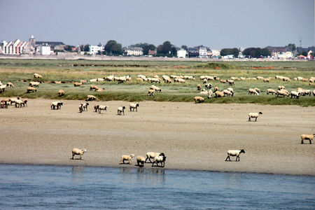 8_St_Valery_Sur_Somme__moutons__4338