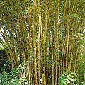 34- bambusa vulgaris 'striata' - les espèces introduites en nouvelle-calédonie