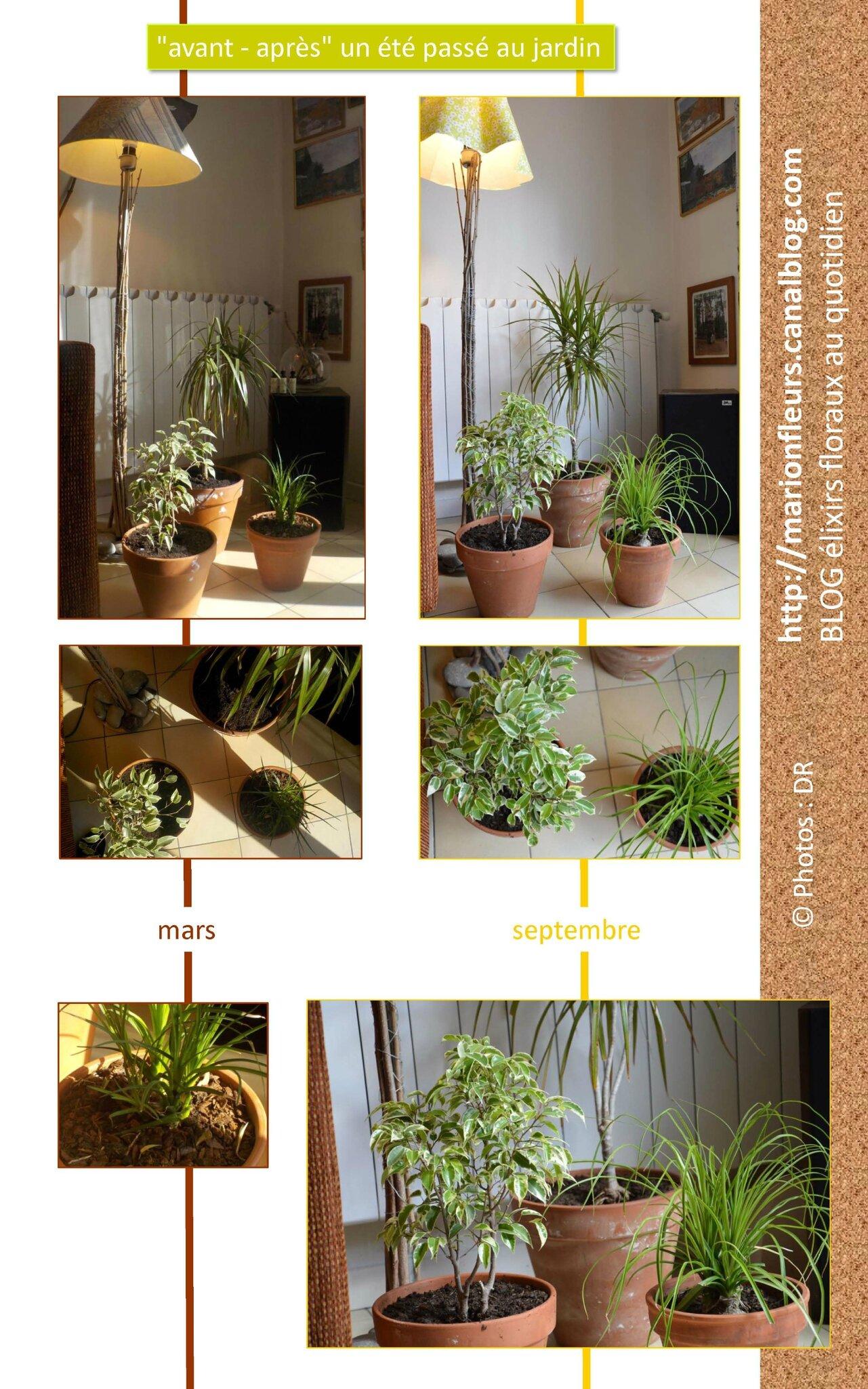 Changement de décor pour mes 3 plantes vertes / La lumière comme nourriture / Fleur de Bach : Walnut, Honeysuckle, Mustard
