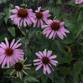2009 08 03 Des fleurs de Echinacea purpurea
