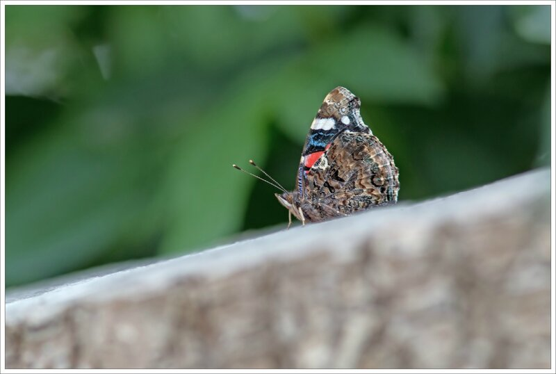 Galuchet papill Vulcain ailes détails 090816 2