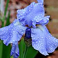 Premier iris