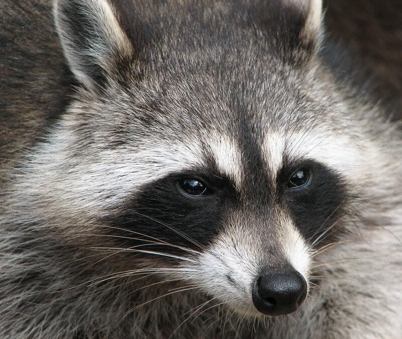 Raccoon__Procyon_lotor__2