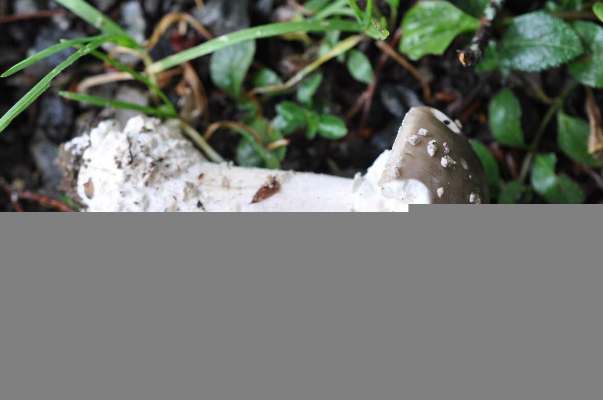 Amanita spissa (8)