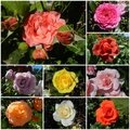 Windows-Live-Writer/921d621843f3_10D6B/roses 2_thumb