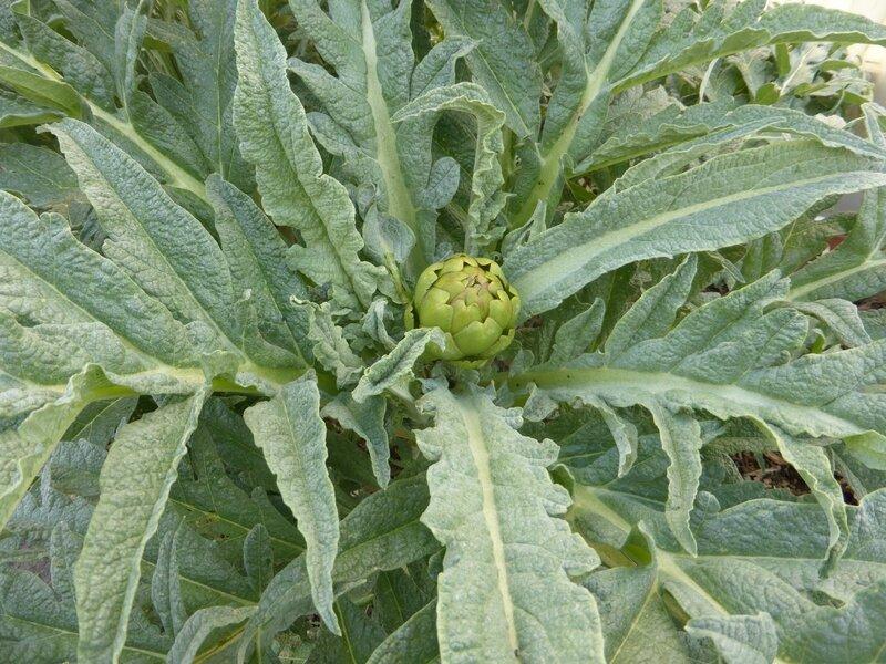 5-artichauts (3)