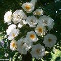 Petites roses que je trouve d'une grande pureté