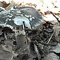 Amanita spissa (2)