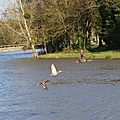 20141110 Bt de bois vol de canards2 Ray