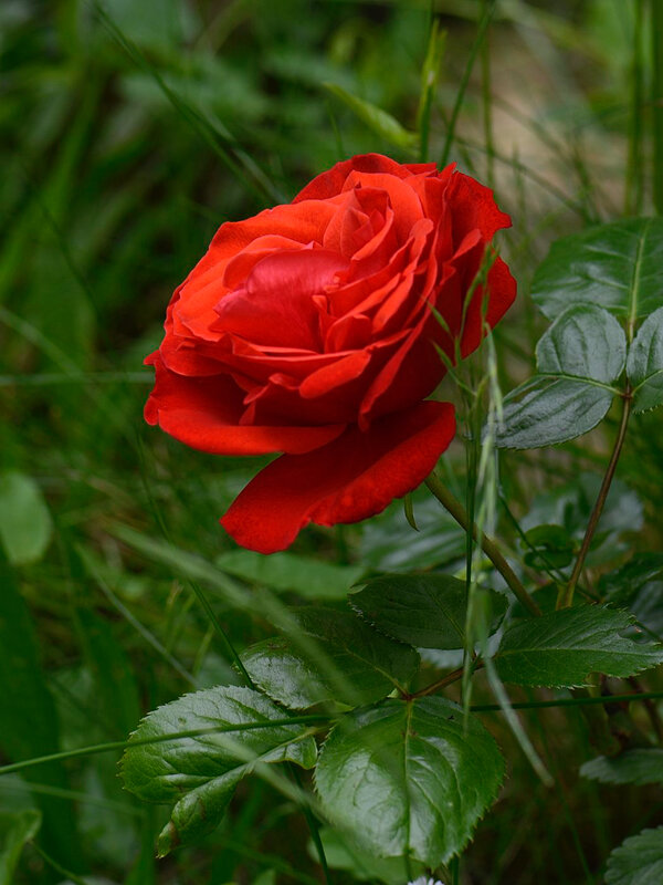 Rose rouge 2 03-08-18