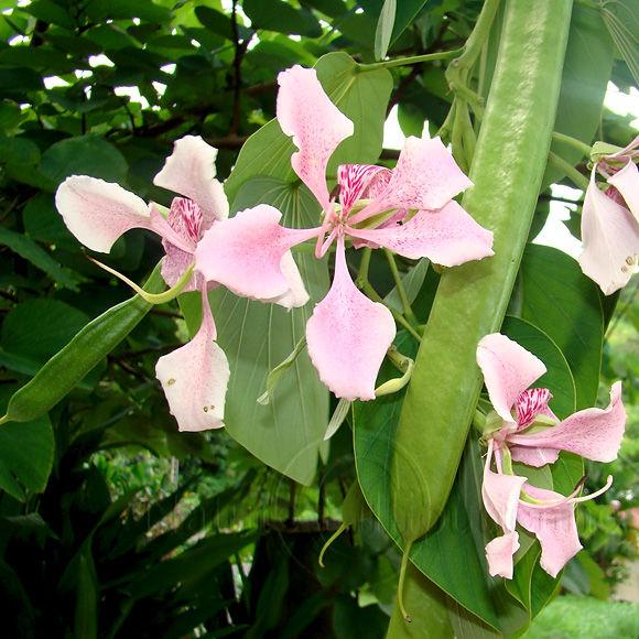 Photographie-Nature-Fleur-Orchidee-Beauhinia monandra-Martinique 4