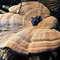 Ganoderma applanatum (2)