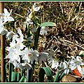 Narcisses blancs 270215