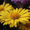 2009 05 13 une fleur de Marguerite Doronicum Oriental