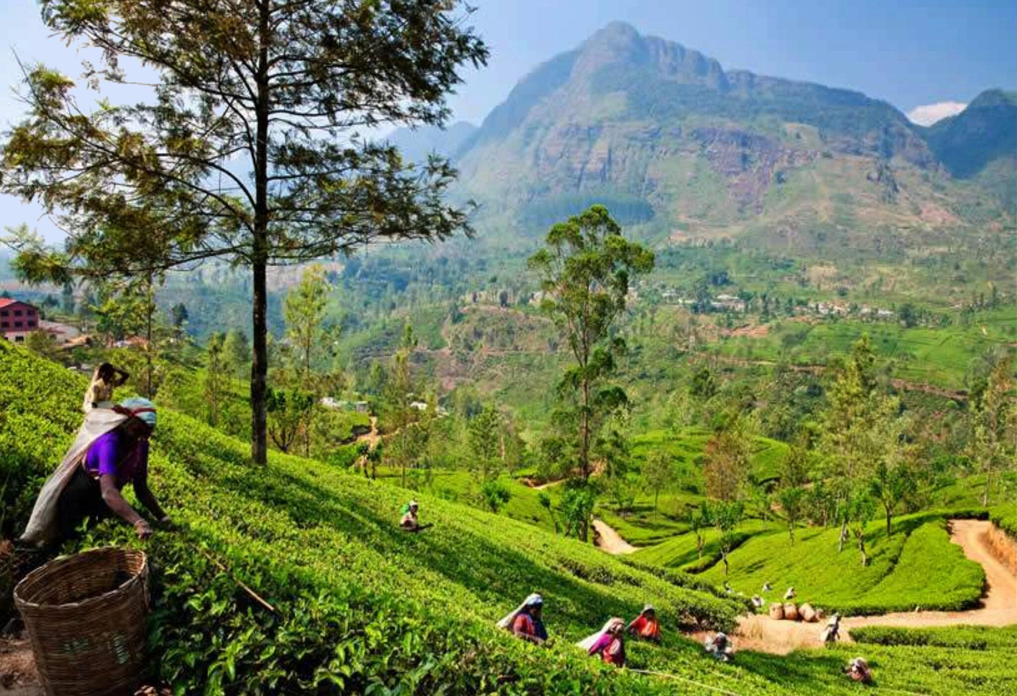 Sri Lanka : visite d'une fabrique de thé