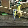 Mésange bleue 260116