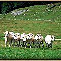 Vaches Lachat (Ain)