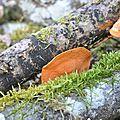 Pycnoporus cinnabarinus (3)