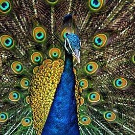 Peacoks