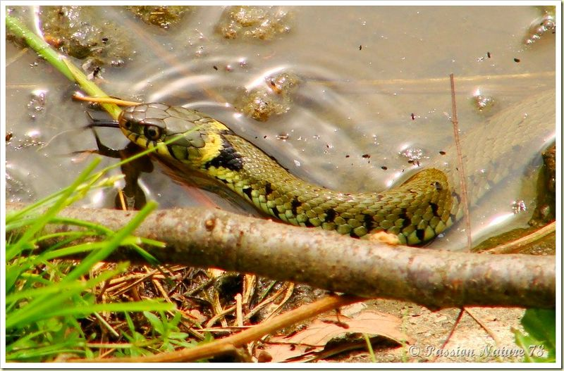 Couleuvre à collier (Natrix natrix) (14)