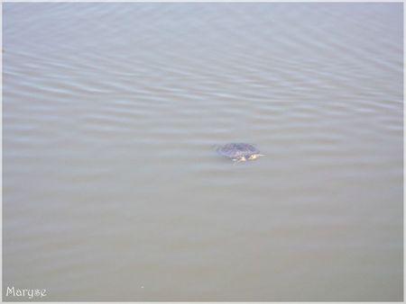 tortue qui nage château de la chasse 30 04 2012