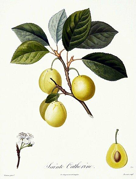 Planche botanique Prunier Sainte Catherine 2