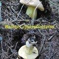 Boletus appendiculatus
