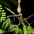 Proscopia scabra Criquet-phasme -femelle)