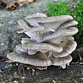 Pleurotus ostreatus (1)