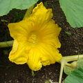 2008 06 30 Une fleur de potiron Atlantic Géant